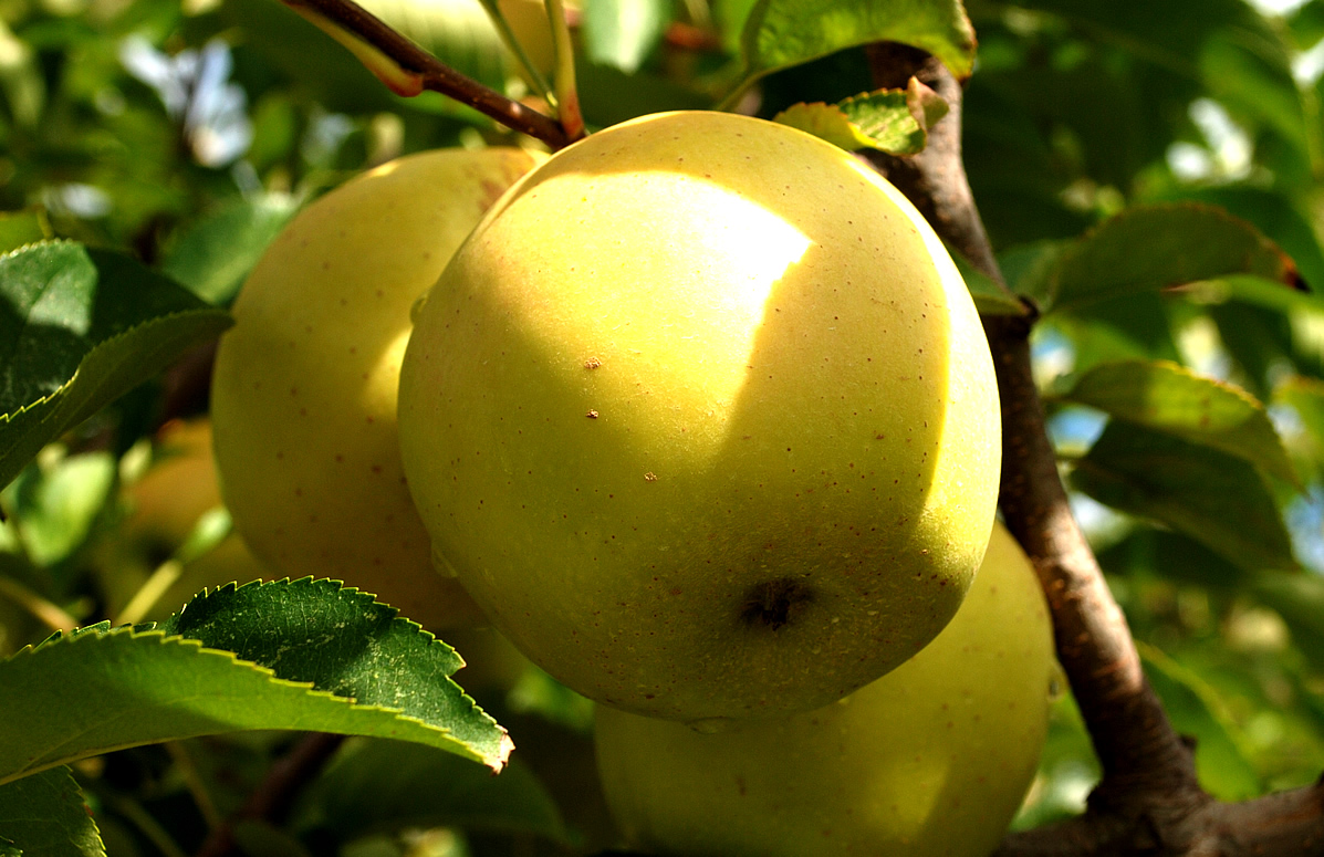 www.ifood.tv_files_images_editor_images_golden apple fruit