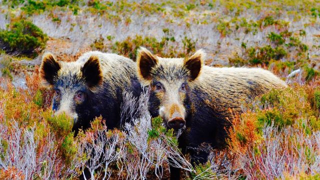 18549038_radioactive-wild-boars-in-sweden-are_5493d185_m